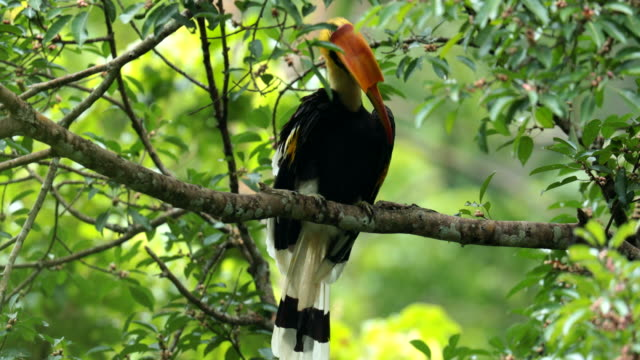 oriental pied hornbill on the tree in the forest - appollaiarsi video stock e b–roll