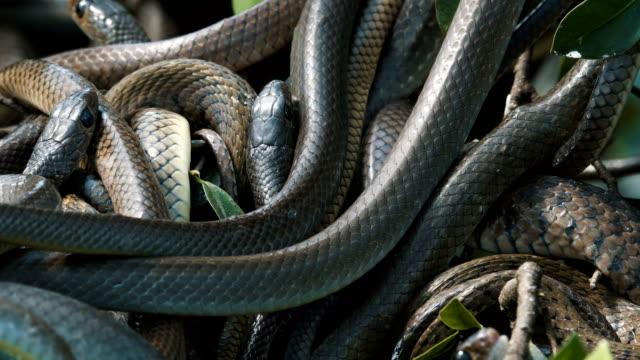 Serpientes de rata oriental - vídeo