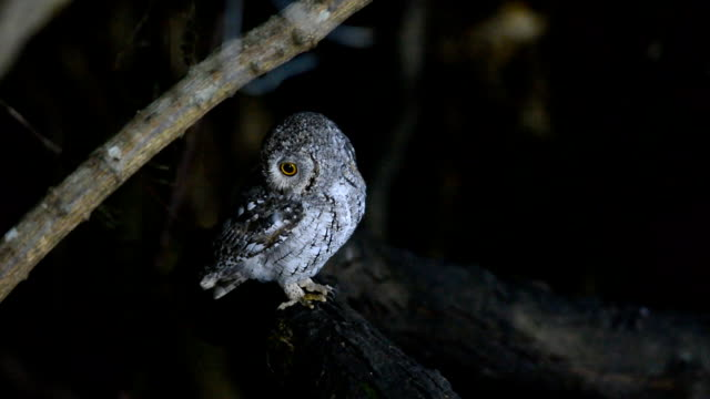 Oriental Scop Owl video