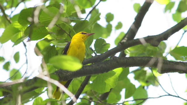 Oriole video