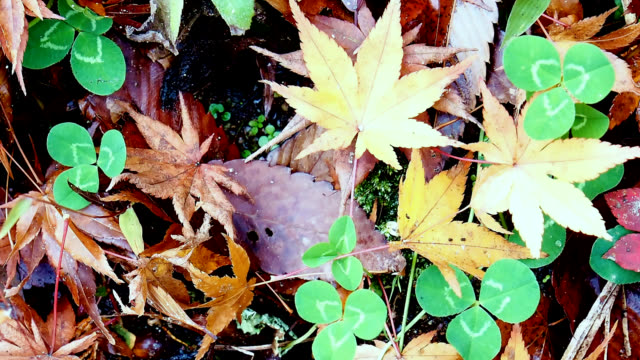 Ornamental garden & forest with maple leaves on the ground