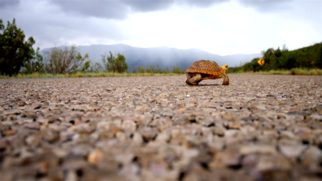 Ornate box turtle crossing a desert road