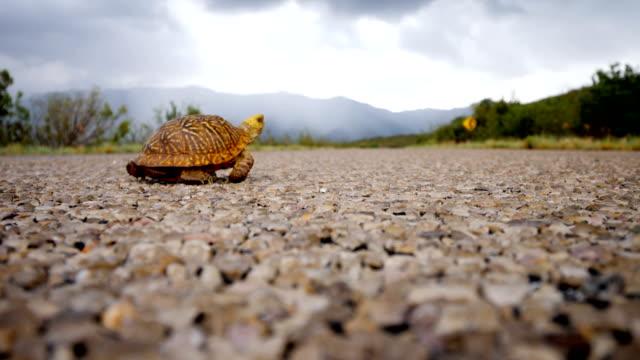 vidéos et rushes de tortue-boîte ornée traversant une route - tortue