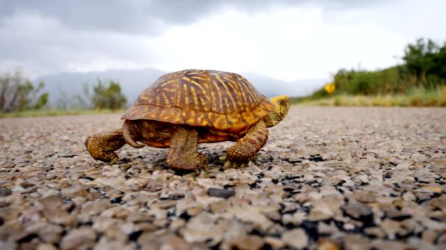 stockvideo's en b-roll-footage met sierlijke doosschildpad kruising een weg - arizona highway signs