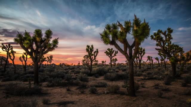 夕暮れ時のオシュアツリー砂漠の風景 - ジョシュアツリー国立公園点の映像素材/bロール