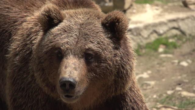 Oso Pardo Camara Lenta Oso Pardo caminando en camara lenta. bear stock videos & royalty-free footage