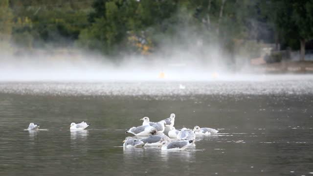 vídeos de stock, filmes e b-roll de osoyoos lago gaivotas e névoa - região thompson okanagan colúmbia britânica