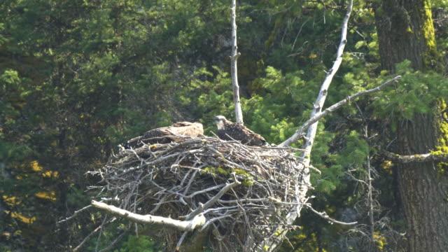 fischadler küken auf ein nest schaut sich um, yellowstone - nest stock-videos und b-roll-filmmaterial