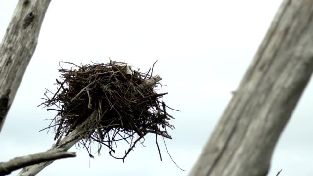 Osprey nest in dead tree blows in wind, CLOSE video