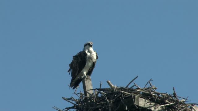 osprey auf die post - nest stock-videos und b-roll-filmmaterial
