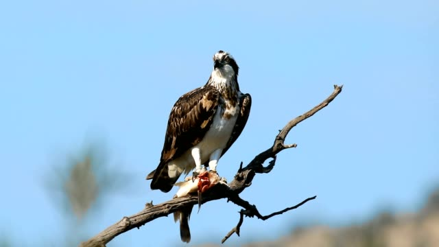 osprey or sea hawk with caughted fish, Africa Safari wildlife Bird osprey or sea hawk with caughted fish on branch, Pilanesberg South Africa Safari wilderness bird of prey stock videos & royalty-free footage