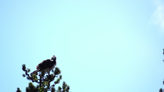 A Osprey Standing On The Top Of Tree video