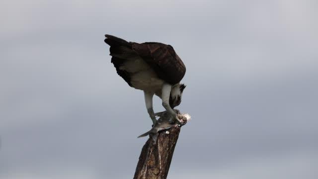 Osprey Osprey eating a fish Lake Apopka Wildlife Dr Florida hawk bird stock videos & royalty-free footage