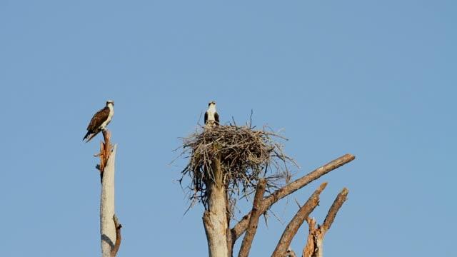 Ospreys on Nest Mated pair of ospreys guard a nest in Gulf Islands National Seashore, Pensacola, Florida. hawk bird stock videos & royalty-free footage