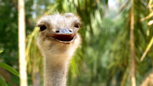 Ostrich face smiling in the jungle. Thailand video