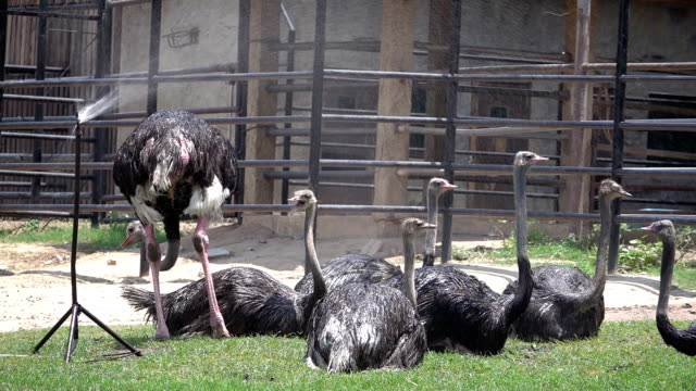 SLO MO Ostrich in summer