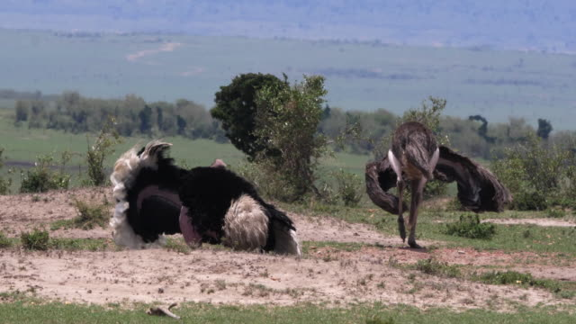 Ostrich, Struthio camelus, Male and Female,Courtship displaying before Mating, Masai Mara Park in Kenya, Real Time 4K - vídeo