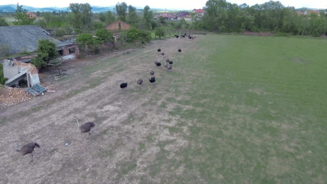 Ostriches farm from aerial shot