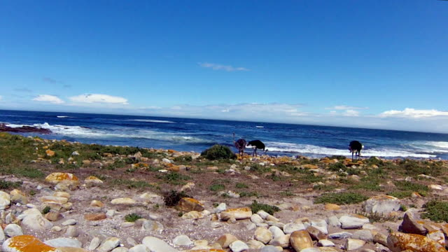 Ostrichs in Cape Peninsula A Wild Ostrichs look the Atlantic ocean of the Cape of Good Hope, a section of Table Mountain National Park, Cape Peninsula, South Africa. cape peninsula stock videos & royalty-free footage