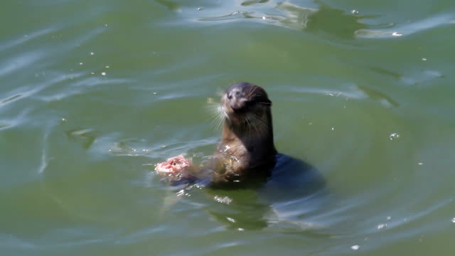 Otter eating fish video