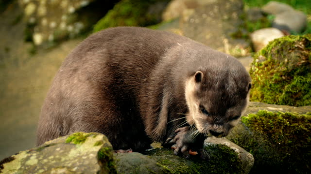 Otter Eating On Rocks By River – Video