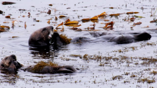 otter family lying on their backs in water - crostaceo video stock e b–roll