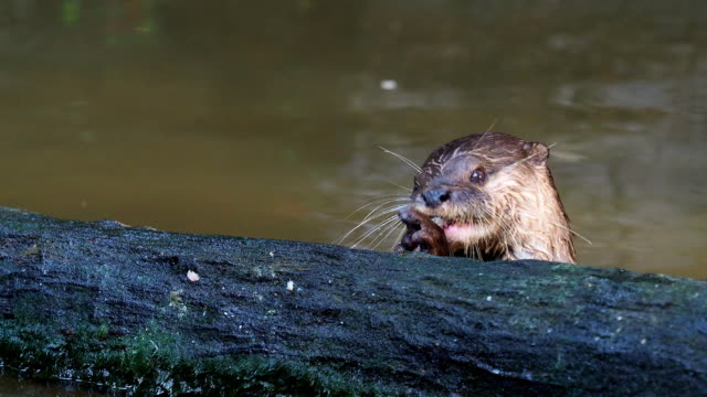 Otter hunting and eating fish nearby a log in the pond video
