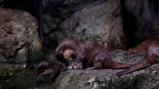 otter - djurfamilj bildbanksvideor och videomaterial från bakom kulisserna