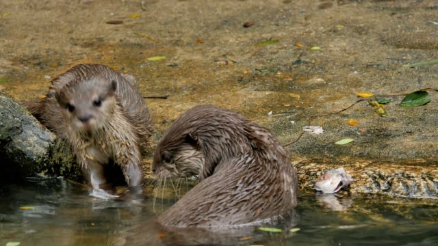 Otters eating a fish on ground. video