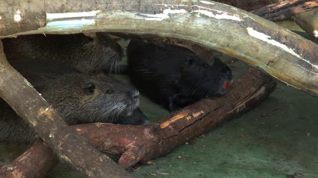Otter, spielen und Schwimmen im Teichwasser, Real-Time, – Video