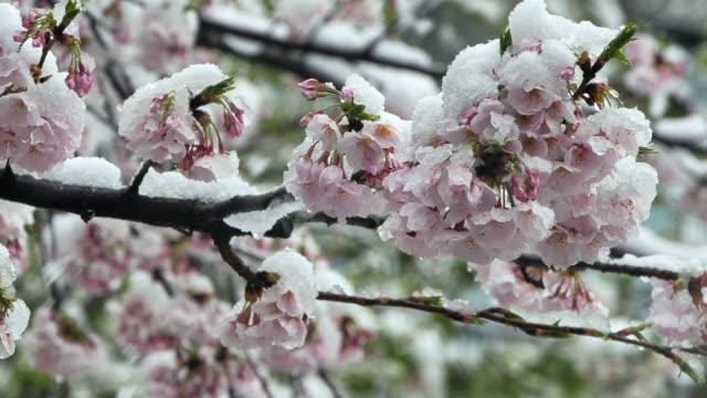 lågsäsong snö och körsbärsblommor i full blom - barometer bildbanksvideor och videomaterial från bakom kulisserna
