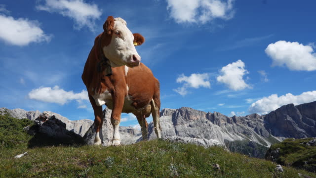 Outdoor typical landscape on the Dolomites: cows, mountains and blue sky