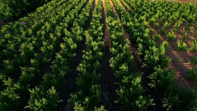 ponad brzoskwini plantacja drzew - brzoskwinia drzewo owocowe filmów i materiałów b-roll