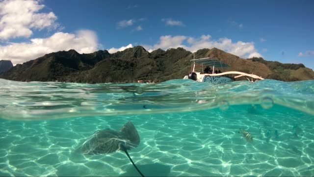 Over under ocean surface of manta ray and a boat in the Pacific Ocean. There is Moorea island over the surface under the blue sky. Wildlife tropical concept - underwater view
