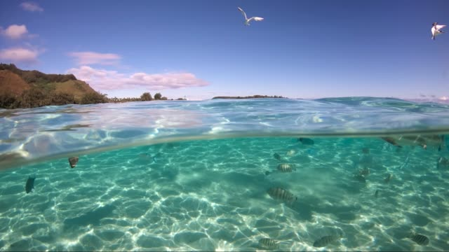 Over under ocean surface of sharks and seagulls in the Pacific Ocean. There is Moorea island over the surface under the blue sky. Wildlife tropical concept, perfect for adventure - underwater view