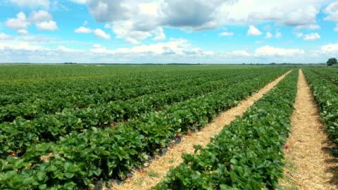 vidéos et rushes de survol de la plantation de fraises - fraise