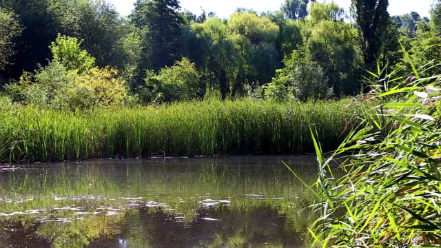 Overgrown lake in summer video