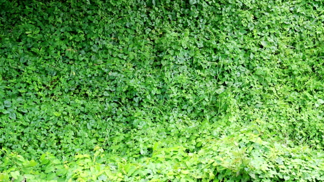 overgrown wild vine fully covers building wall - wall video stock e b–roll