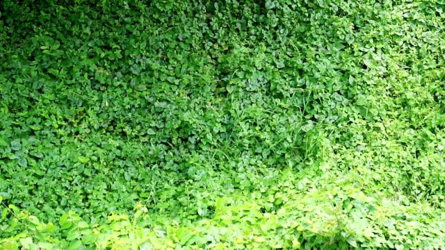 자란된 야생 포도 나무는 완전히 건물 벽을 커버 - 아이비 스톡 비디오 및 b-롤 화면