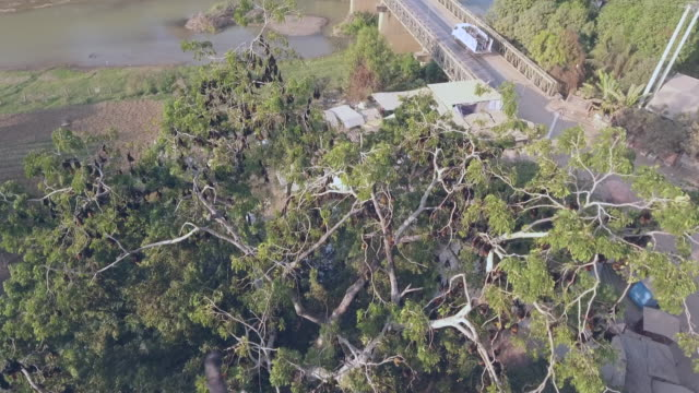 overhead drone shot of colony of bats hanging out upside down in a tree