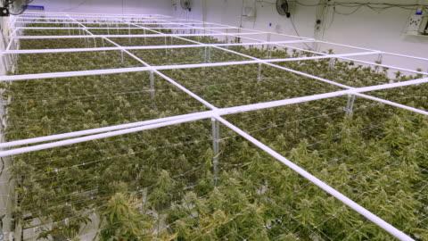 vídeos de stock e filmes b-roll de overhead view on sea of marijuana plants growing at indoor cannabis farm warehouse - erva