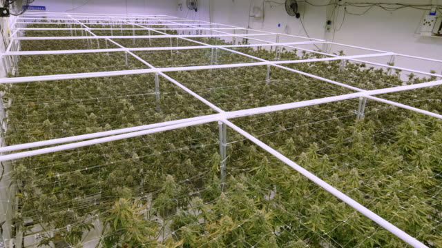Overhead View on Sea of Marijuana Plants Growing at Indoor Cannabis Farm Warehouse Commercial greenhouse building with full grown hemp plants ready for harvest marijuana herbal cannabis stock videos & royalty-free footage
