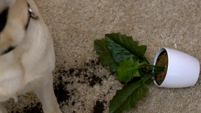 stockvideo's en b-roll-footage met omgedraaid bloempot op de vloer in de buurt van schattige labrador kijken naar camera, speelse hond - chaos