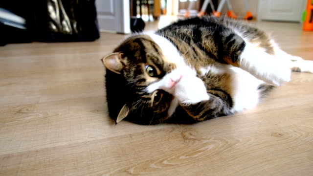 Overweight Tabby and White Cat is Lying Down Overweight tabby and white cat is lying down on the floor at home. Her name is Pink. laziness stock videos & royalty-free footage