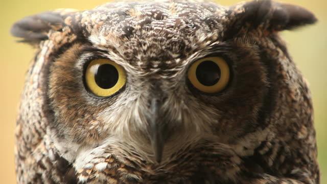 stockvideo's en b-roll-footage met owl hd - uil