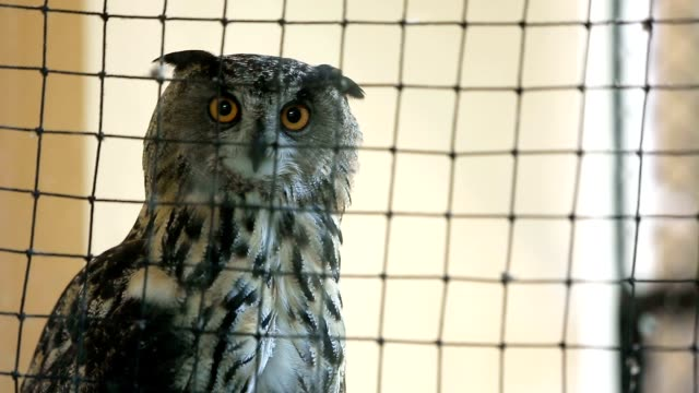 Owl in a cage video