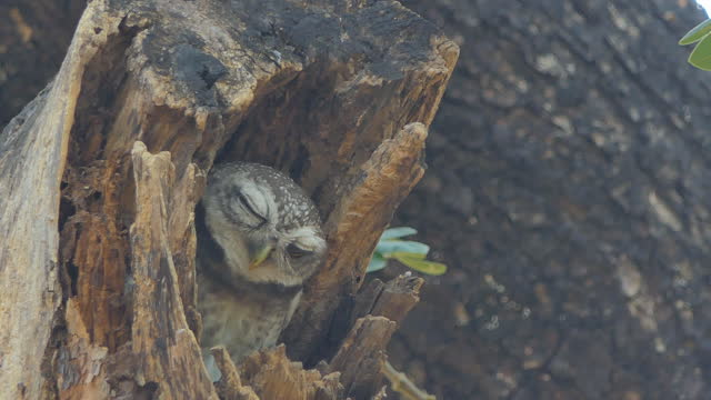 Owl in hollow in tropical rain forest. video