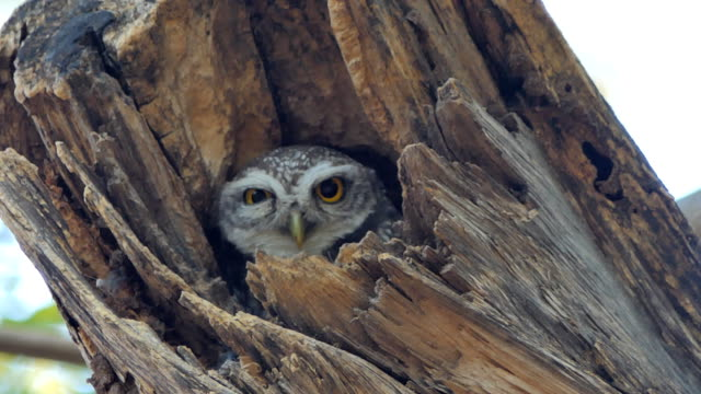 Owl in hollow. video