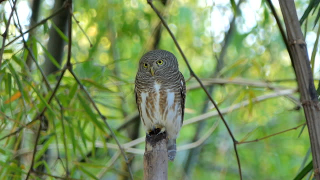 Owl in tropical rain forest. video