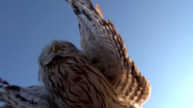 owl landing on hand video